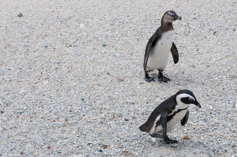 Baby African penguins at Boulders Beach, South Africa