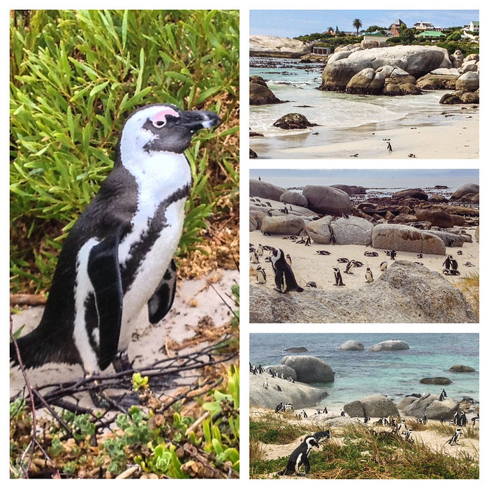 African Penguins at Boulders Beach, Cape Peninsula