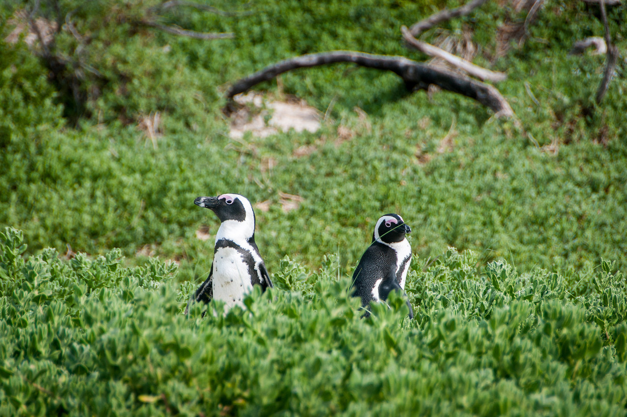 Penguins near a beach in Cape Town