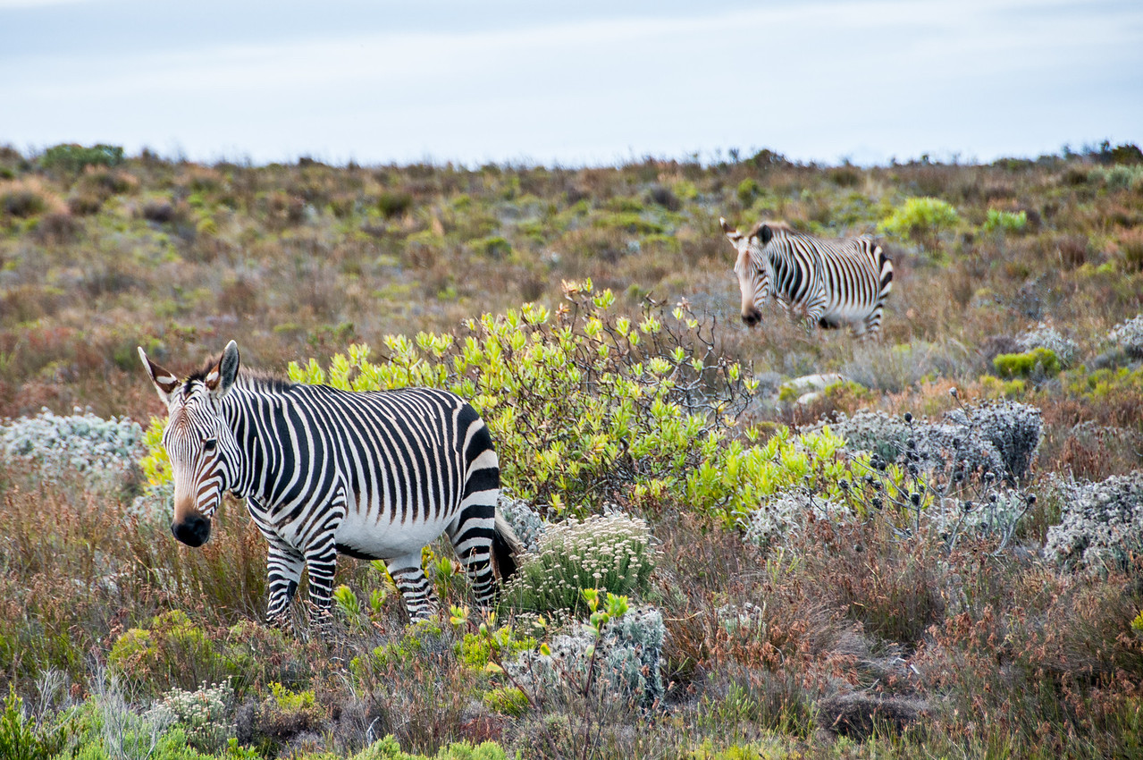 Zebras in Cape Town, South Africa