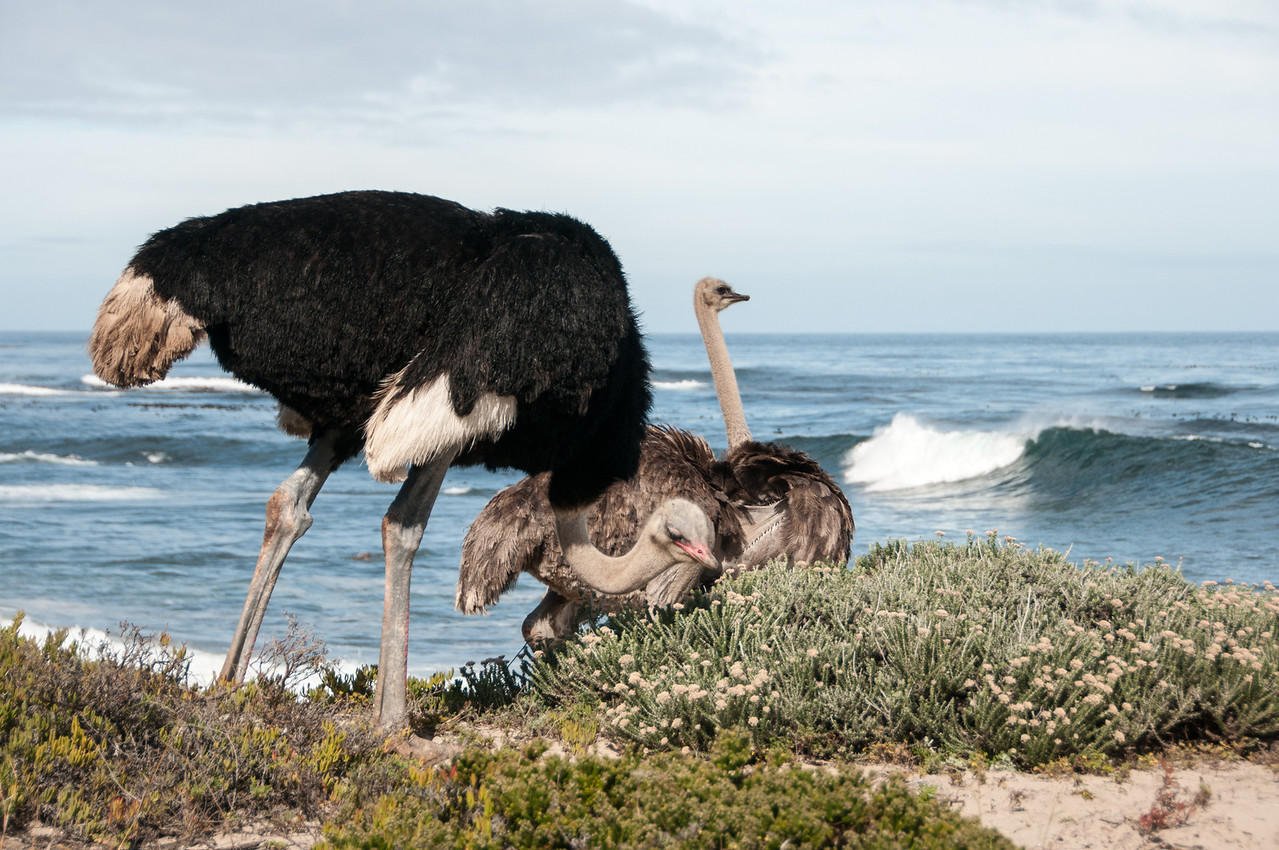 Ostriches in Cape Town, South Africa