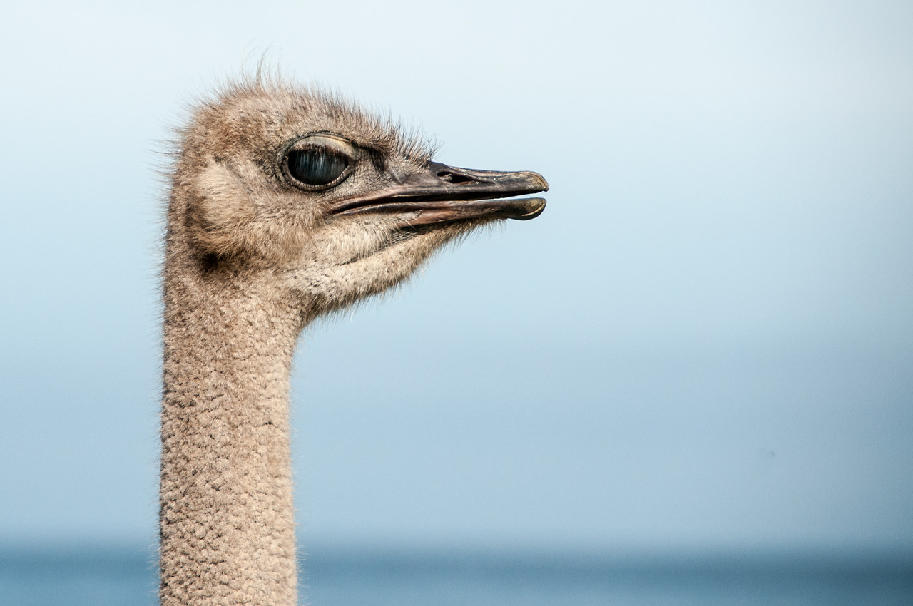 Ostrich in Cape Town, South Africa