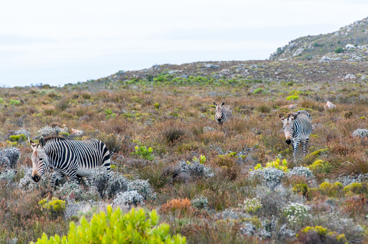 Zebras grazing in Cape Town, South Africa