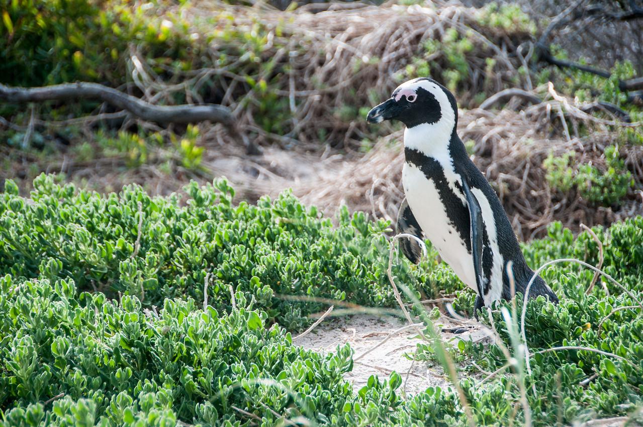Penguin near a beach in Cape Town