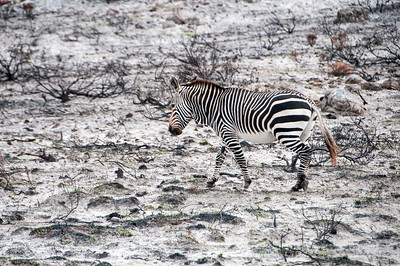 Burchell's Zebra in Cape Town, South Africa