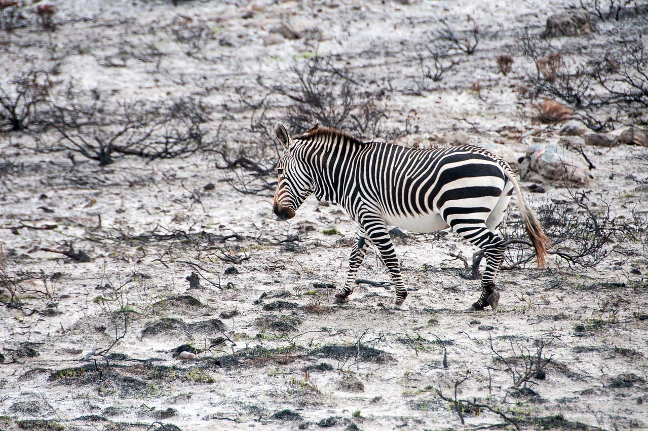 Burchell's Zebra in Cape Town, South Africa