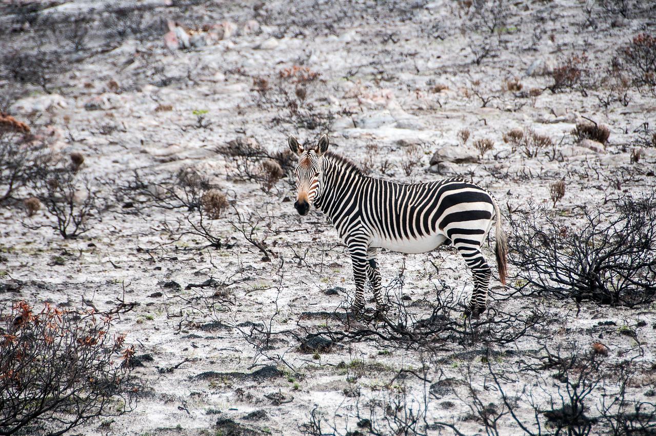 Zebra in Cape Town, South Africa