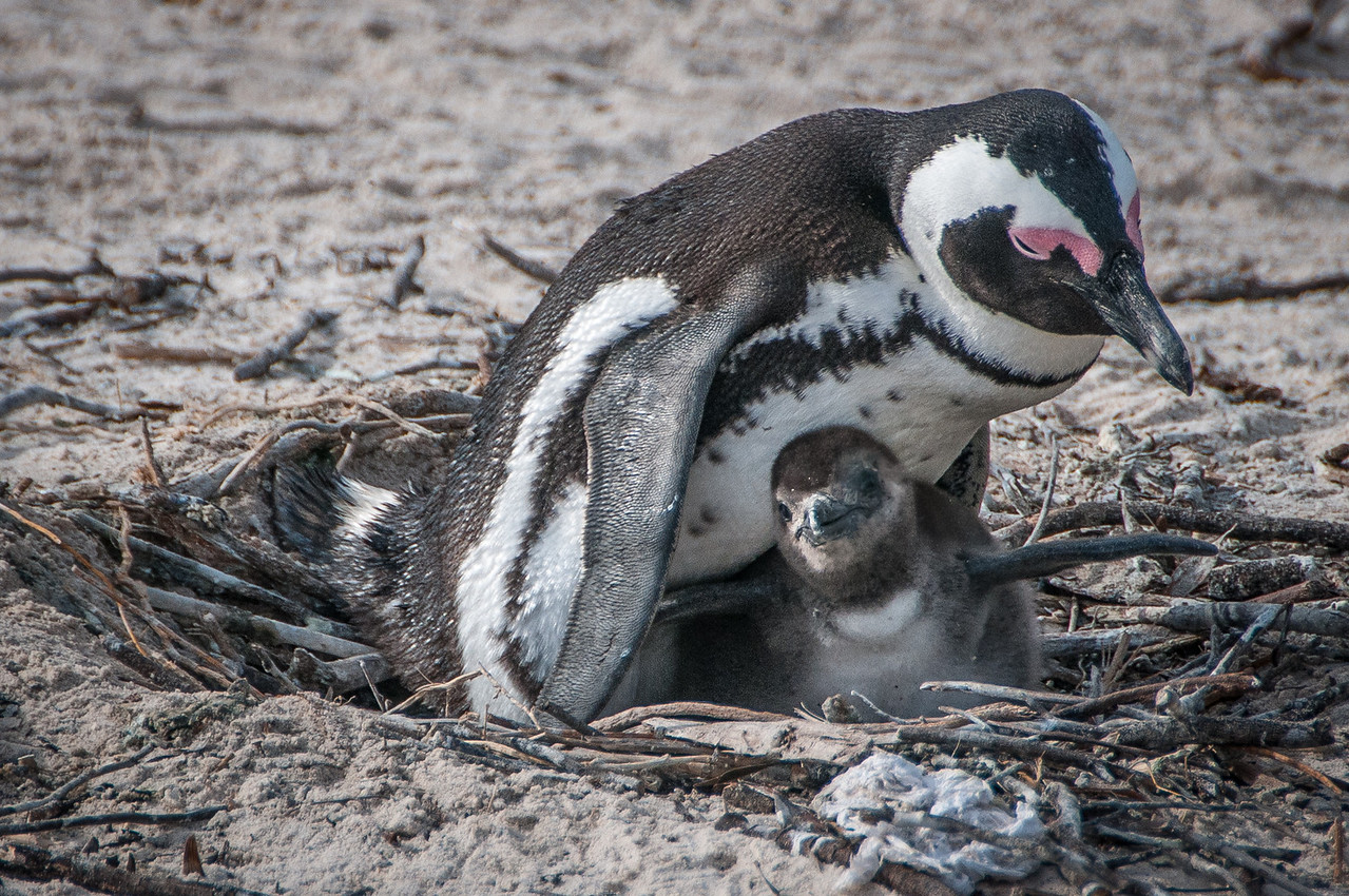 Penguin and chick near a beach in Cape Town