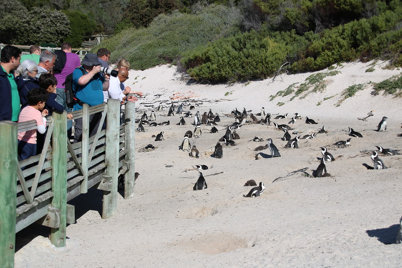 Penguins at Boulders Beach Bay