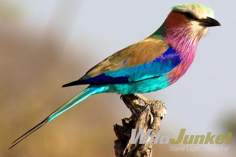 Lilac breast roller in Sabi Sands Reserve