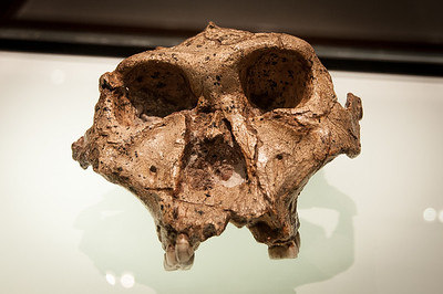 "Australopithecus africanus skull, ""Taung Child"", by Raymond Dart in Cradle of Humankind, South Africa"