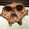 """Australopithecus africanus skull, """"Taung Child"""", by Raymond Dart in Cradle of Humankind, South Africa"""