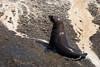 Cape Fur Seal, Duiker Island, South Africa.  February 2006