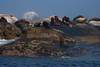 Cape Fur Seals, Duiker Island, South Africa.  February 2006