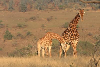 """Giraffe """"necking"""" behavior"""