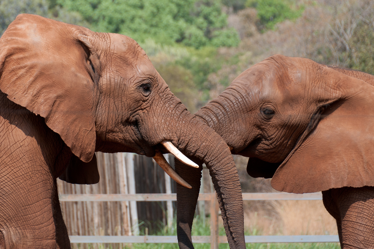 Two Elephants, Hartbeespoort Dam, South Africa