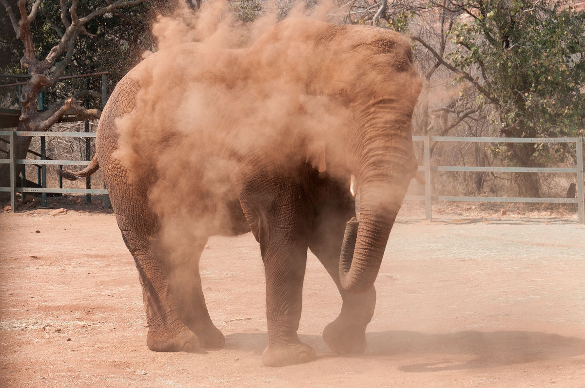 Elephant in dust cloud, Hartbeespoort Dam, South Africa