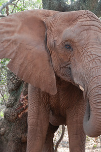 Elephant at the Hartbeespoort Dam Elephant Sanctuary, South Africa