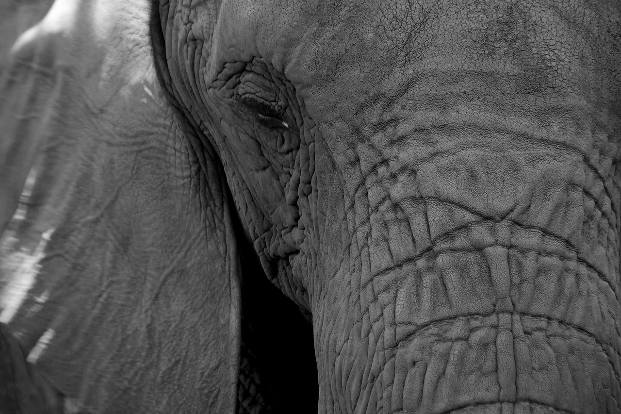 Elephant at the Hartbeespoort Dam Elephant Sanctuary, South Africa