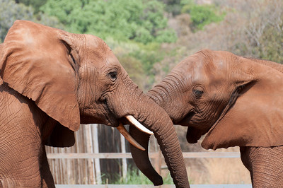 Elephants at the Hartbeespoort Dam Elephant Sanctuary, South Africa
