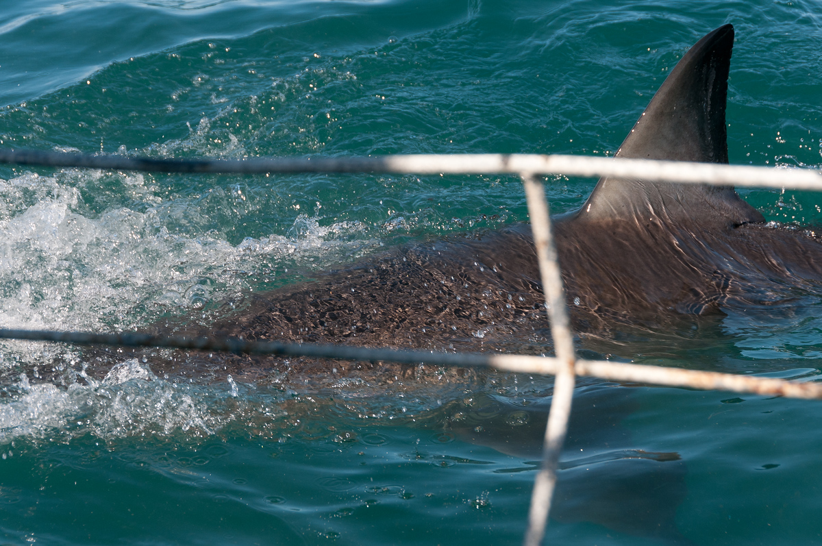 A Great White Shark off the coast of Hermanus, South Africa