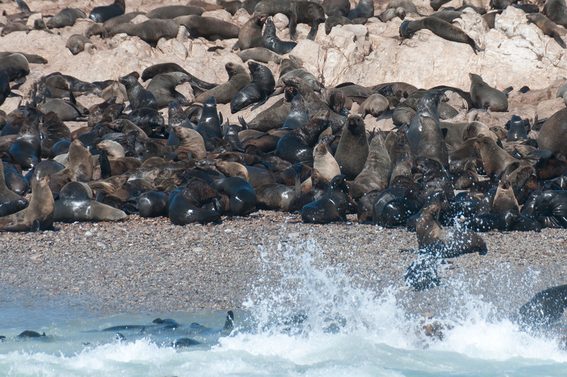 Seals in Hermanus, South Africa