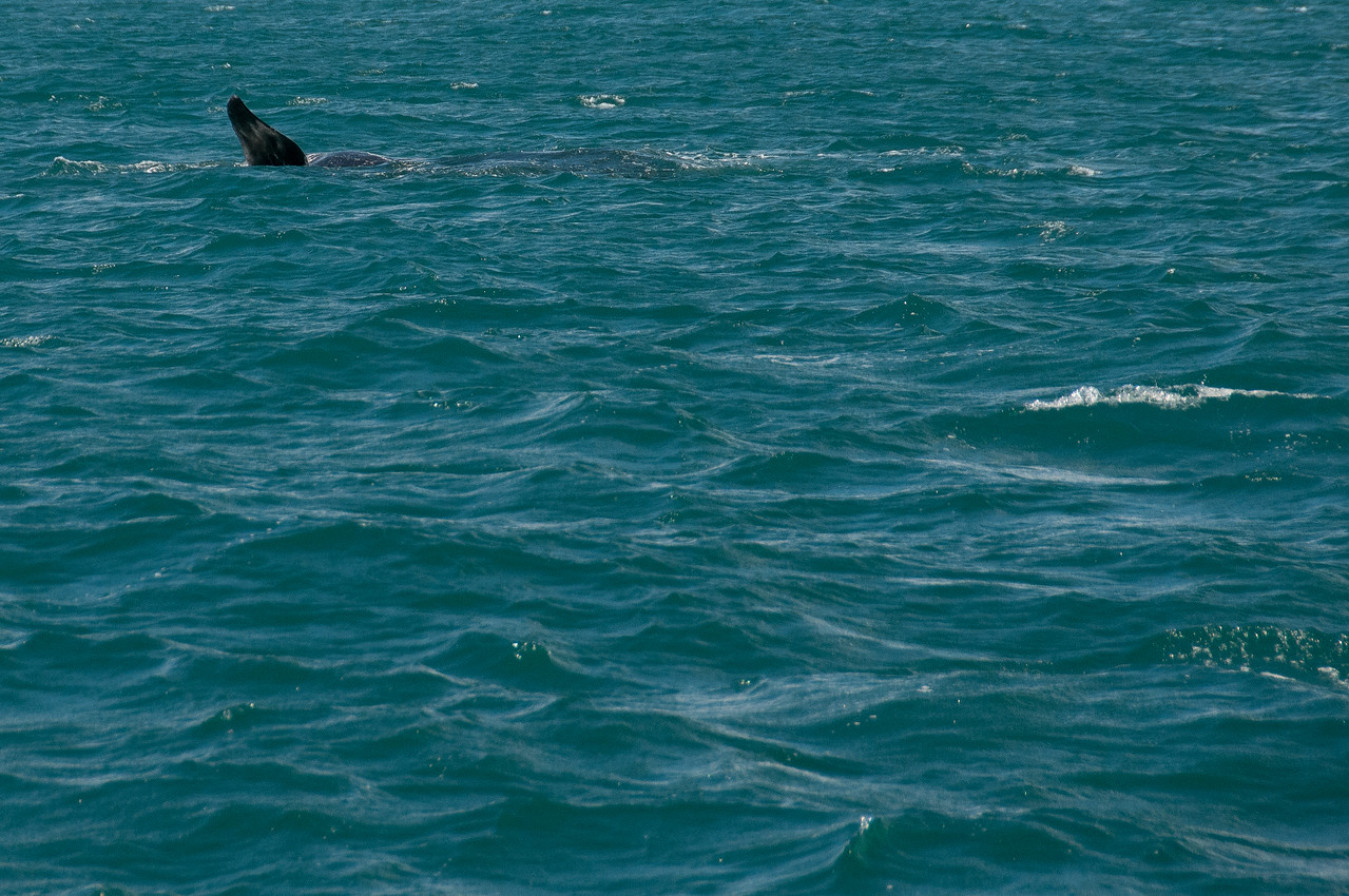 Great white shark in Hermanus, South Africa