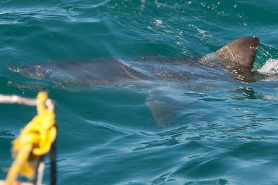 Great white shark in Hermanus, South Africa