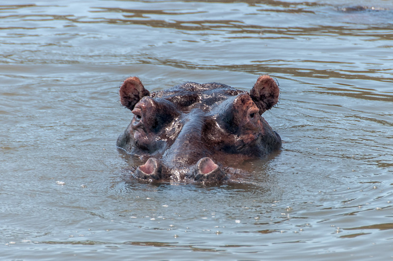 Hippo in iSimangaliso Wetland Park, South Africa