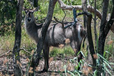 Waterbuck in iSimangaliso Wetland Park, South Africa
