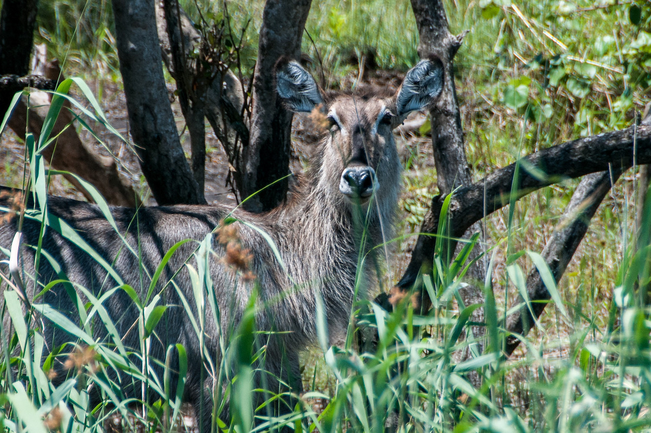 Waterbuck in iSimangaliso Wetland Park, South Africa