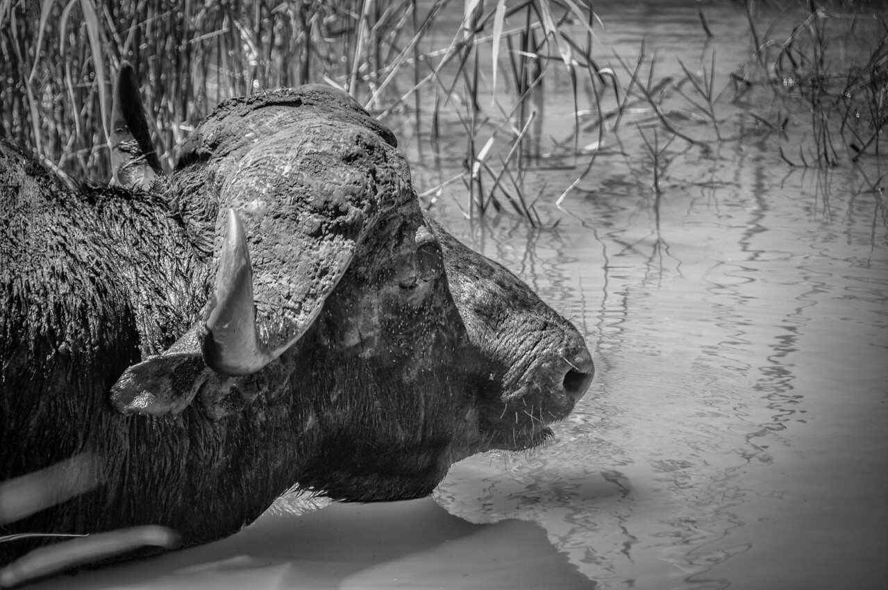 Buffalo in iSimangaliso Wetland Park, South Africa