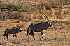 Gemsbok with calf, Kgalagadi Transfrontier Park, South Africa.  August 2017