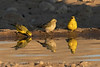 Yellow Canaries, Kgalagadi Transfrontier Park, South Africa.  August 2017