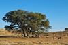 Gemsbok, Kgalagadi Transfrontier Park, South Africa.  August 2017