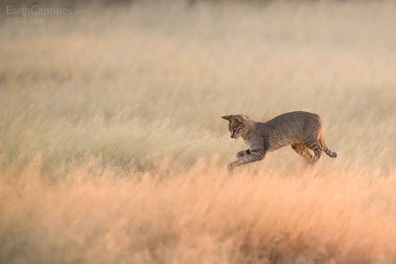 African Wildcat Hunting at Dawn