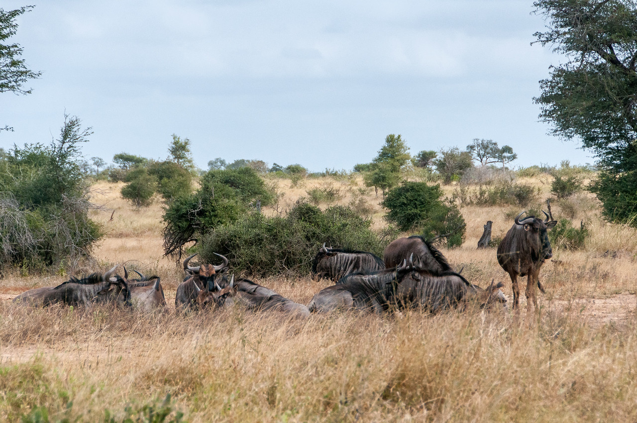 Wildebeests at Kruger National Park