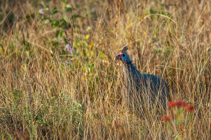Turkey in Kruger National Park