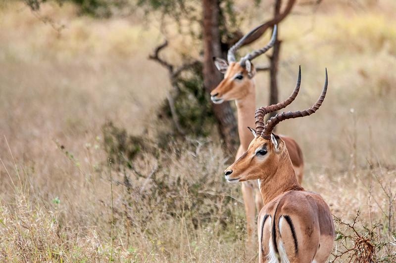 Antelopes in Kruger National Park