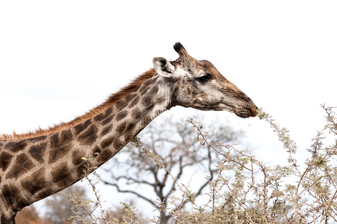Giraffe at Kruger National Park