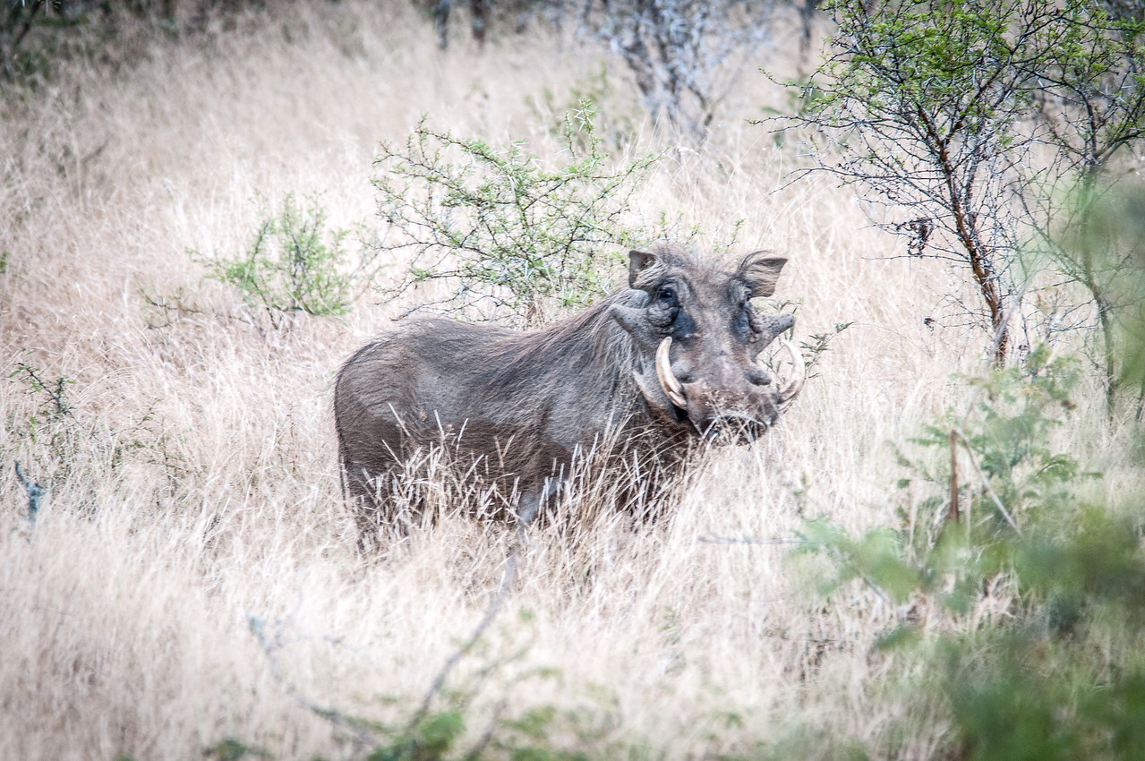 Wildebeest in Kruger National Park