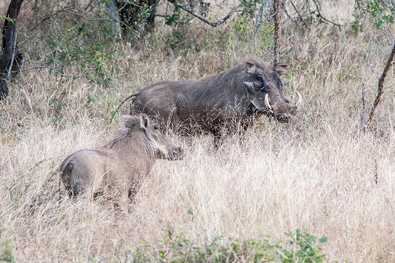 Wildebeests in Kruger National Park