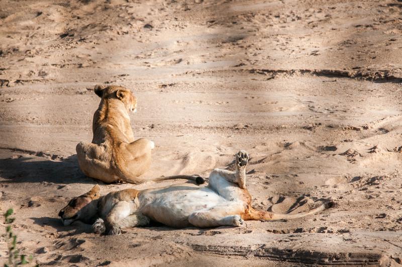 Baby lion in Kruger National Park