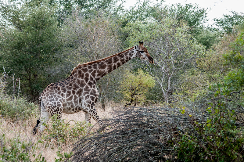 Giraffe in Kruger National Park
