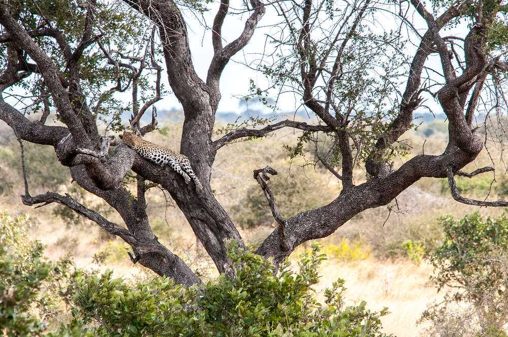 A Leopard in a Tree in Kruger National Park, South Africa