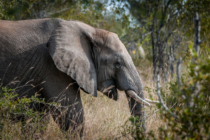 Elephant in Kruger National Park