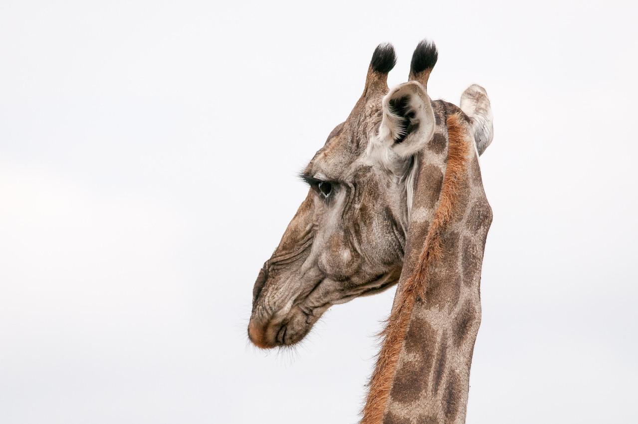 Close-up of giraffe at Kruger National Park