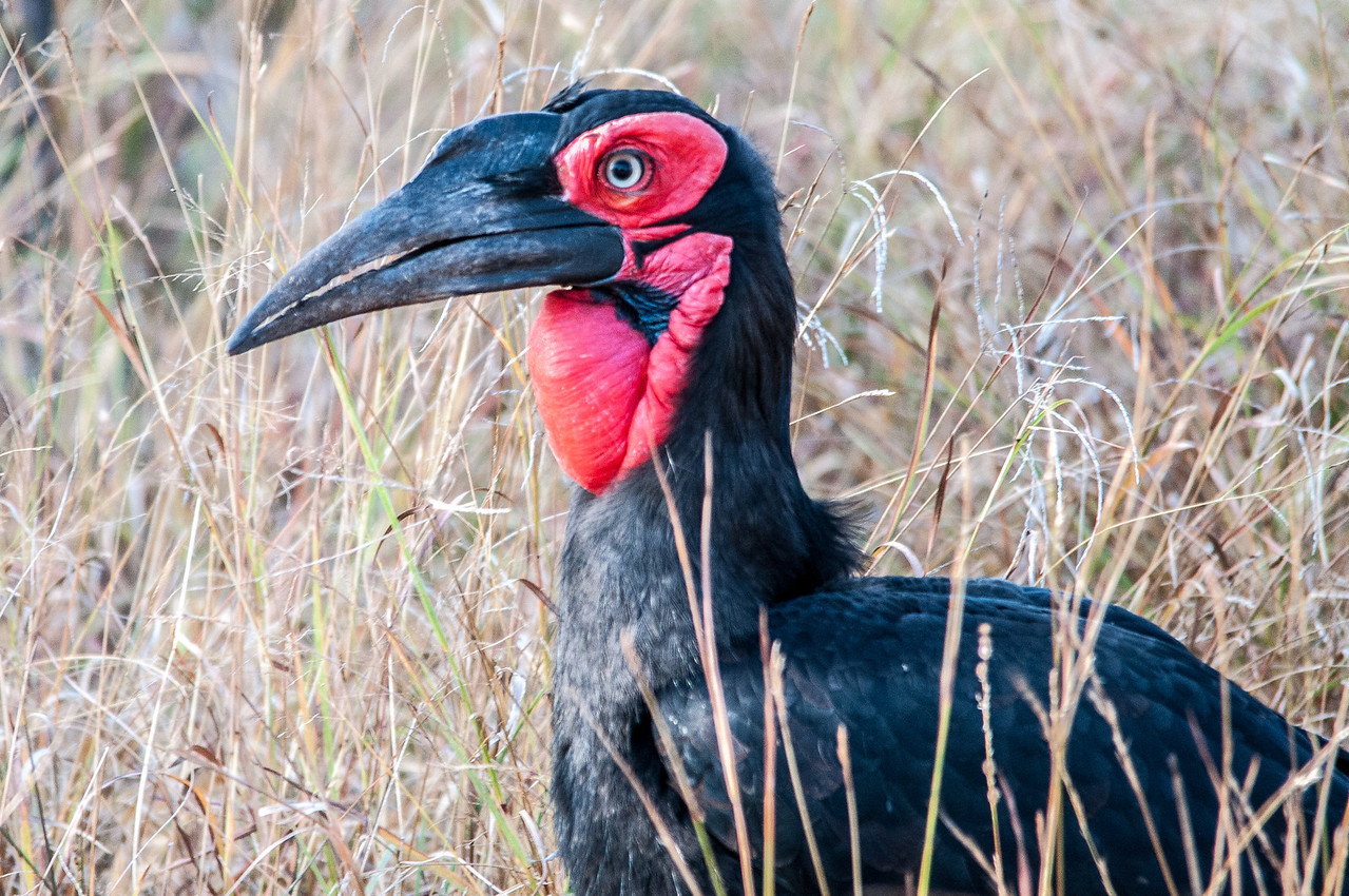 Southern ground hornbill in Kruger National Park