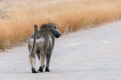 Monkey in Kruger National Park