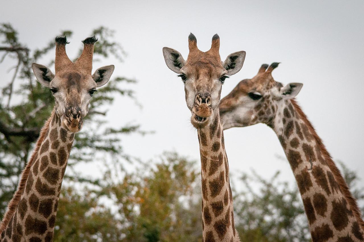 Giraffes in Kruger National Park